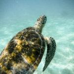 Dónde y cúando ver tortugas en Riviera Maya