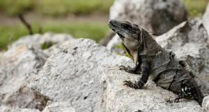 Iguana, Cancun