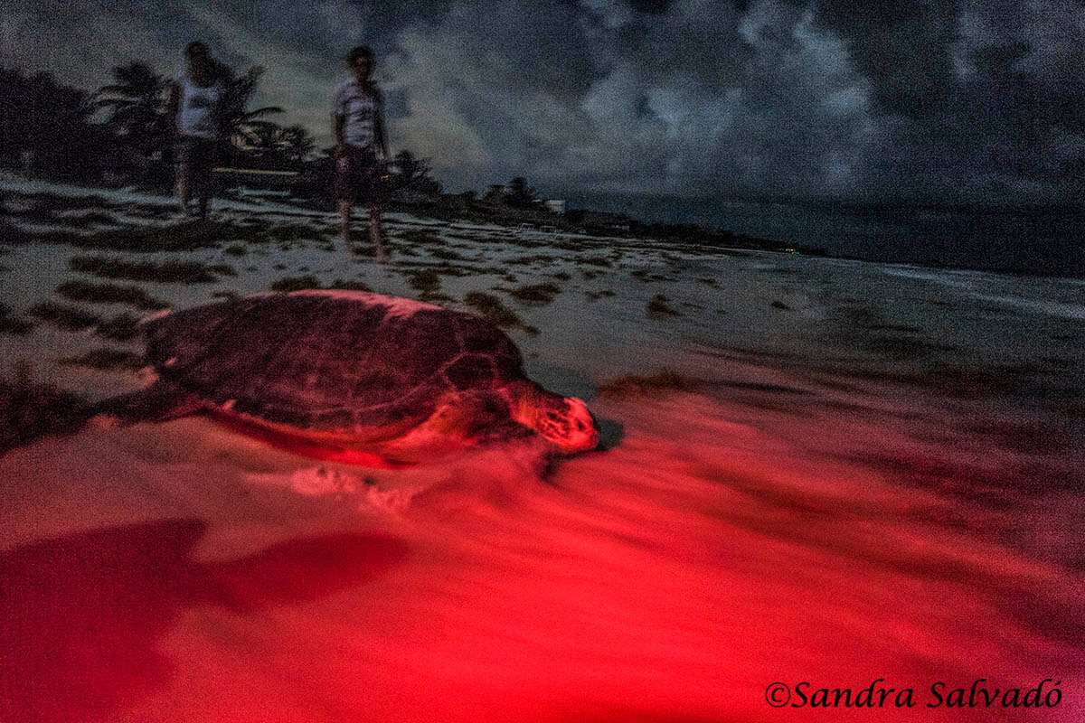 Desove de tortugas en Tulum, Riviera Maya, Quintana Roo