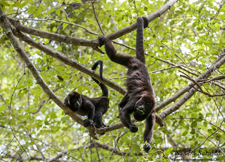 Monos saraguatos, Calakmul