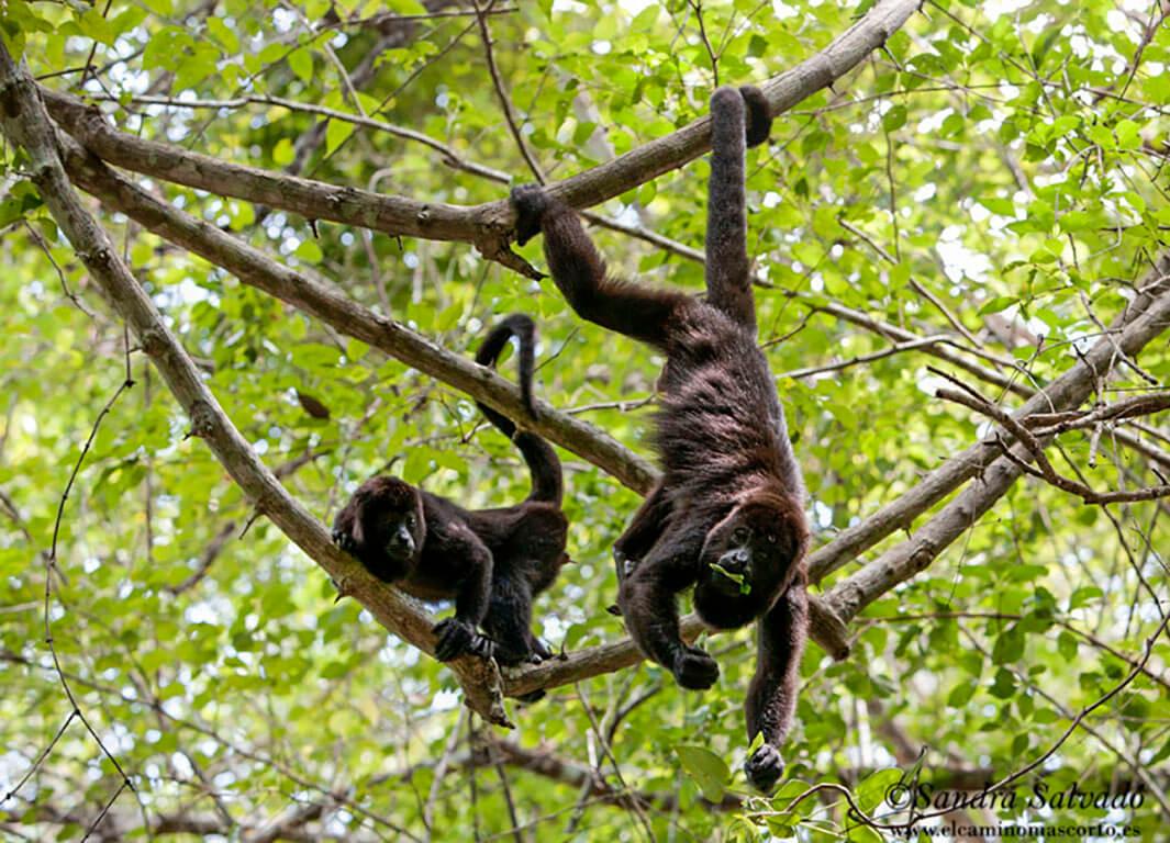 Monos saraguatos Calakmul