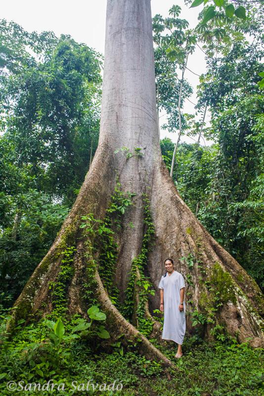 Ceiba y maya lacandon
