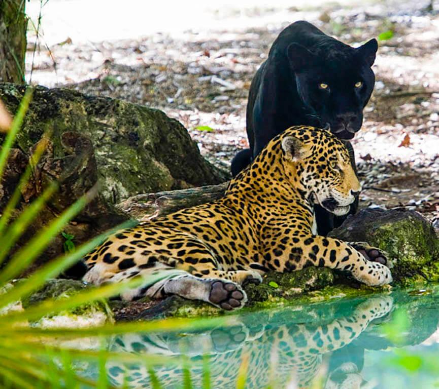 Los jaguares de Xcaret desde uno de los restaurantes