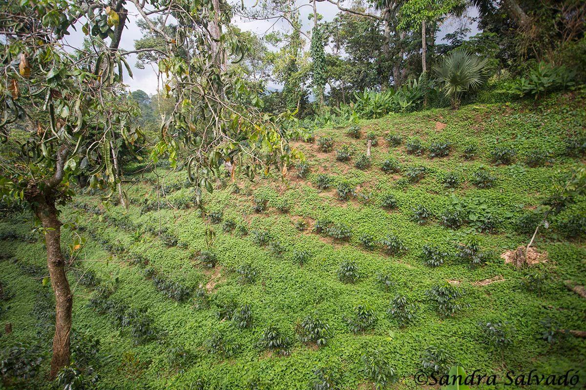 Finca Argovia, Ruta del café, Tapachula, Chiapas