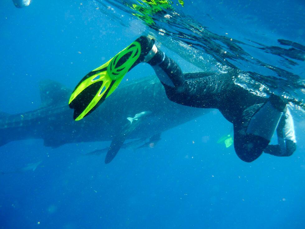 Reflexiones sobre el nado con el tiburón ballena