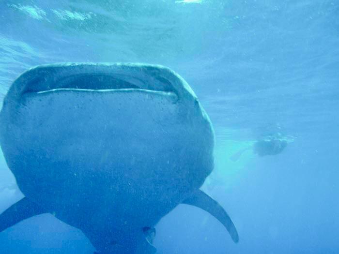 Nadar con el tiburón ballena en el Caribe mexicano