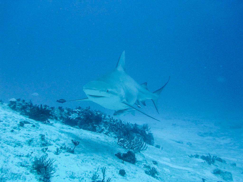 Buceo con el tiburón toro en Playa del Carmen