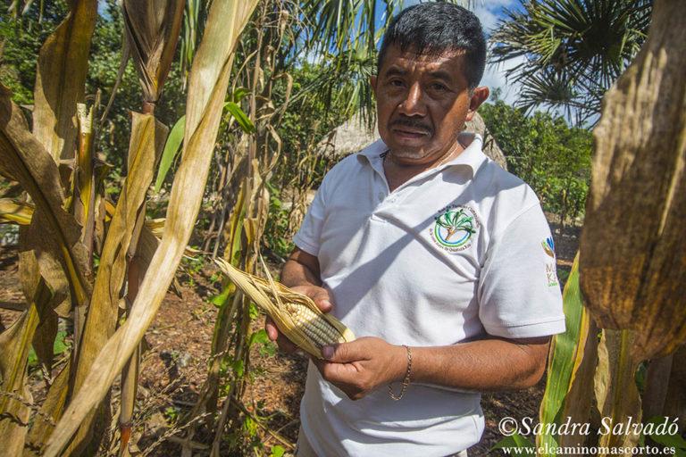 mayas maiz