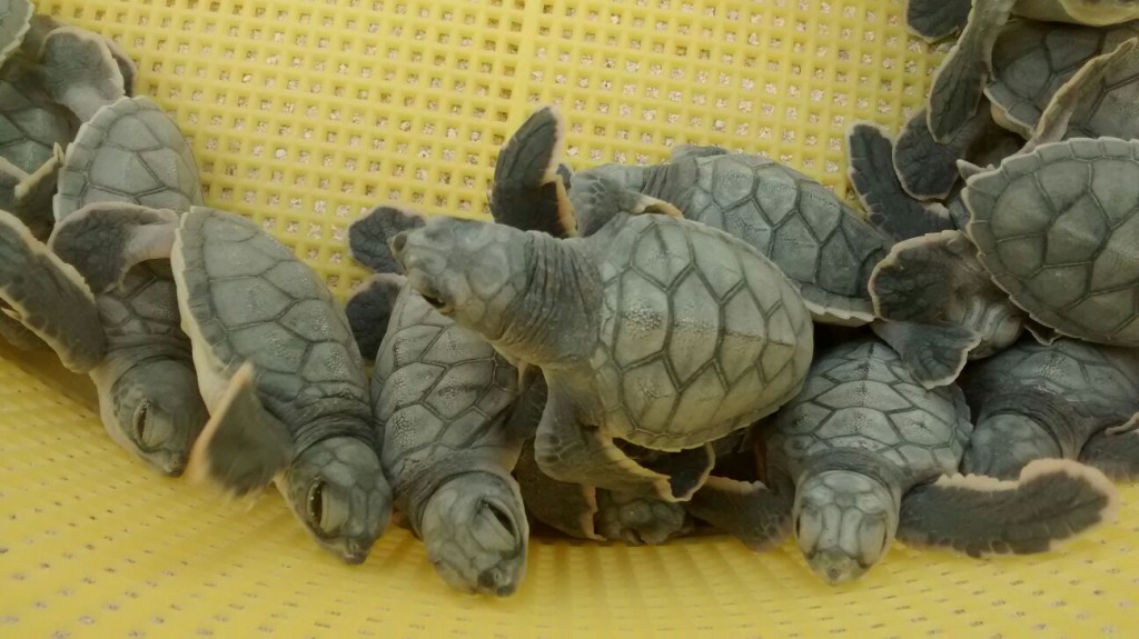 Cancun turtles