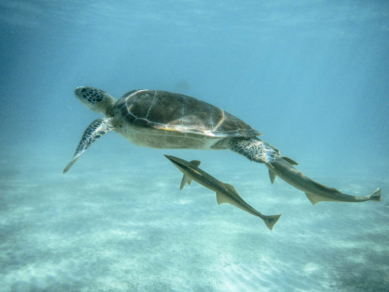 Swim with sea turtle. Caribbean Sea. Mexico.