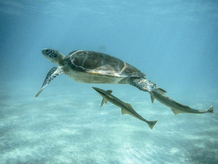 Nado con tortuga marina. Mar Caribe. México.