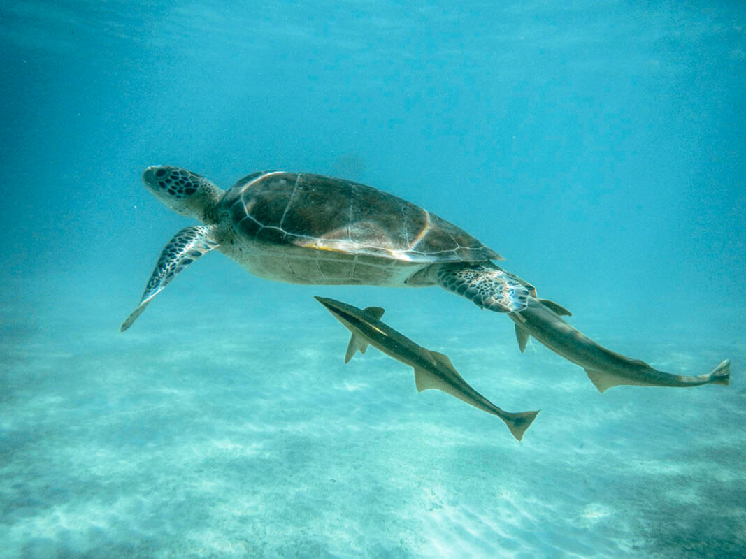 see turtles in riviera maya