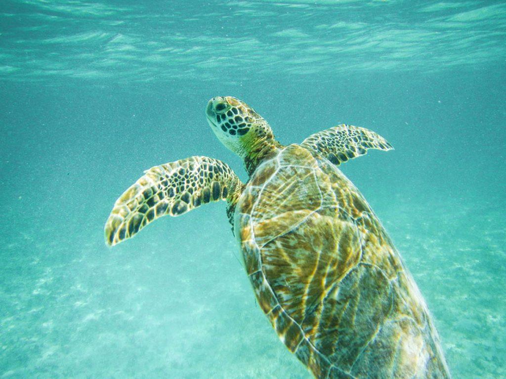 tortuga akumal caribe