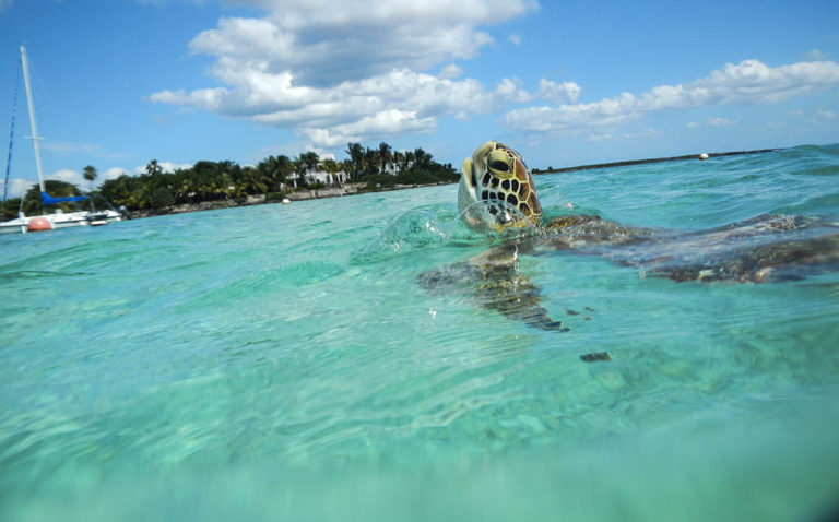 Turtles swimming in Akumal, Quintana Roo, Mexico.