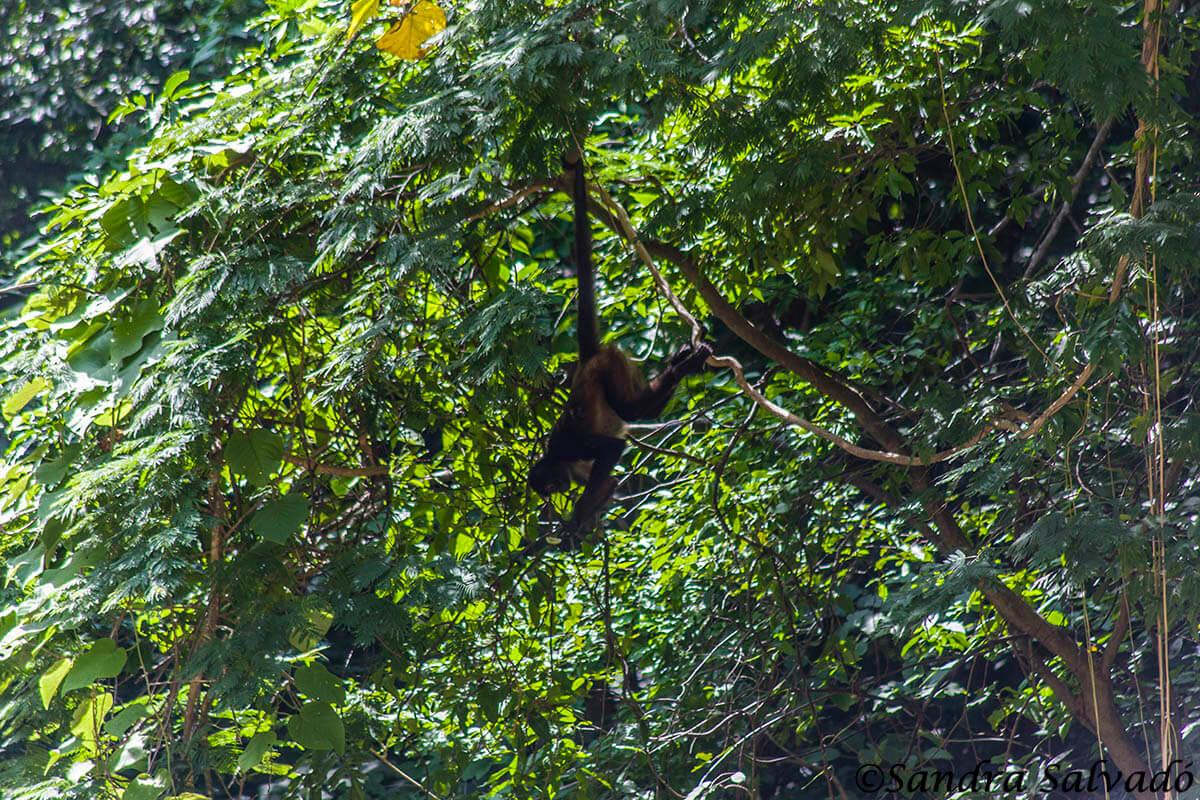 Mono araña, Chiapas, México