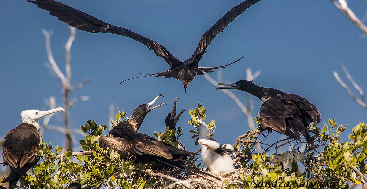 fragatas-aves