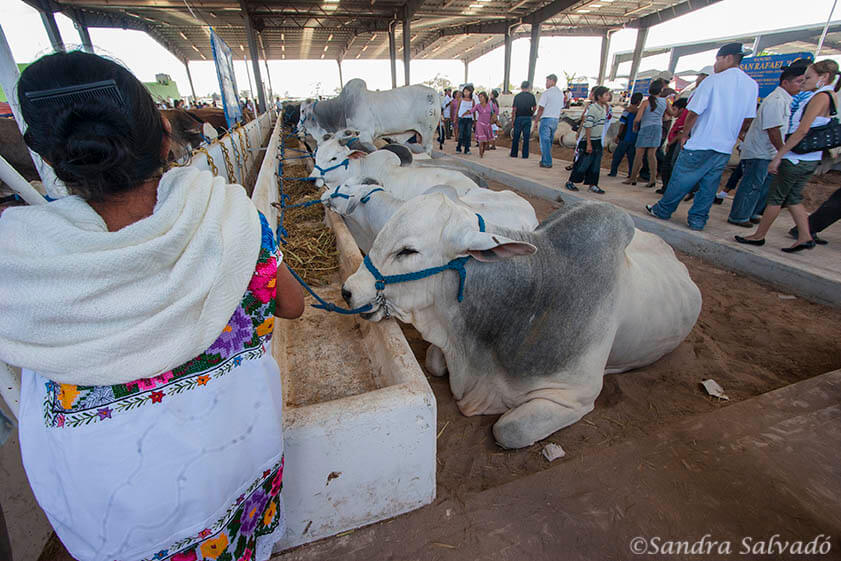 Exhibition of cattle at the fairgrounds at the cattle fair of Reyes de Tizimín. Yucatan, Mexico