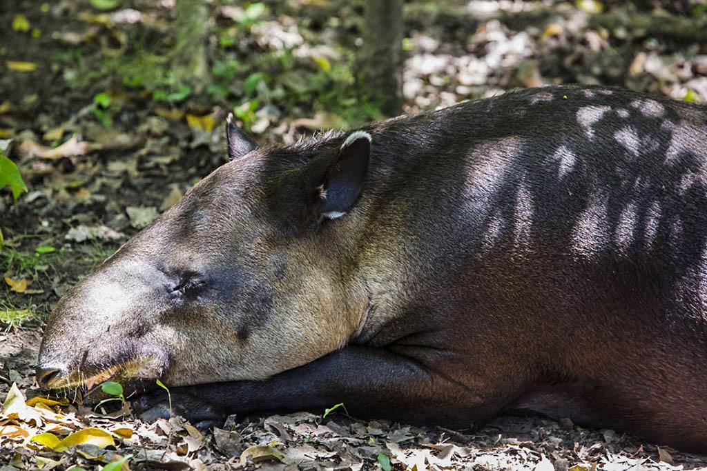 tapir Xcaret