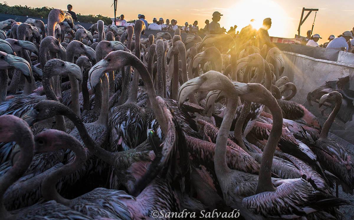 Anillamiento flamencos at El Cuyo, Reserva Biosfera Ría Lagartos, Yucatán