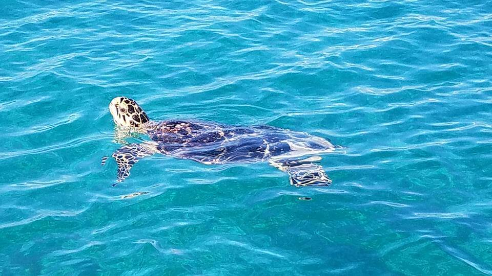 Tortuga marina en el caribe mexicano. Sian Kaan, Quintana Roo, México.