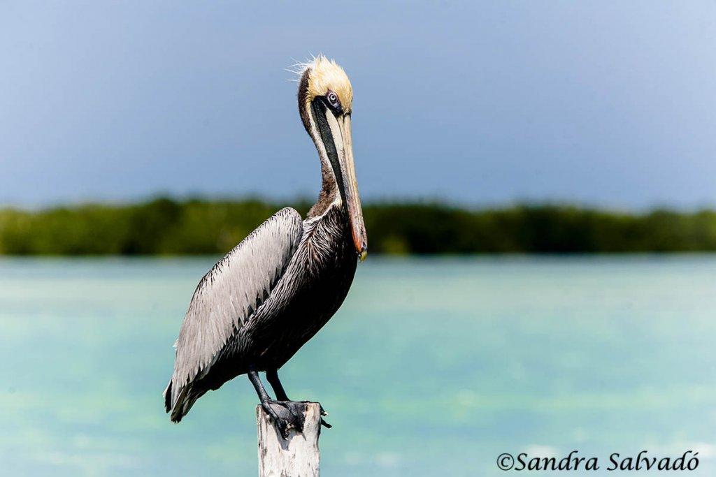 pelicano rio lagartos