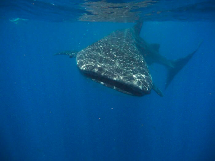 Reflections on swimming with the whale shark 1