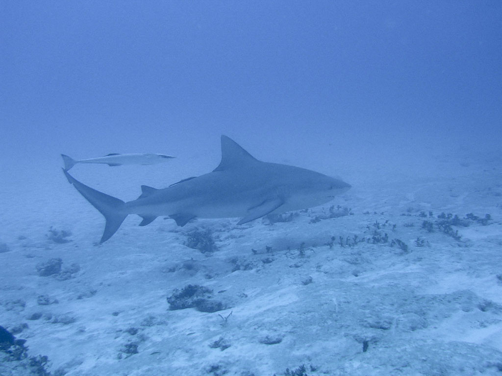Diving with the bull shark in Riviera Maya.