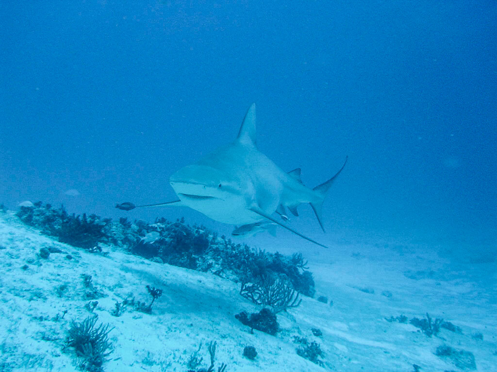 Diving with the bull shark in Playa del Carmen