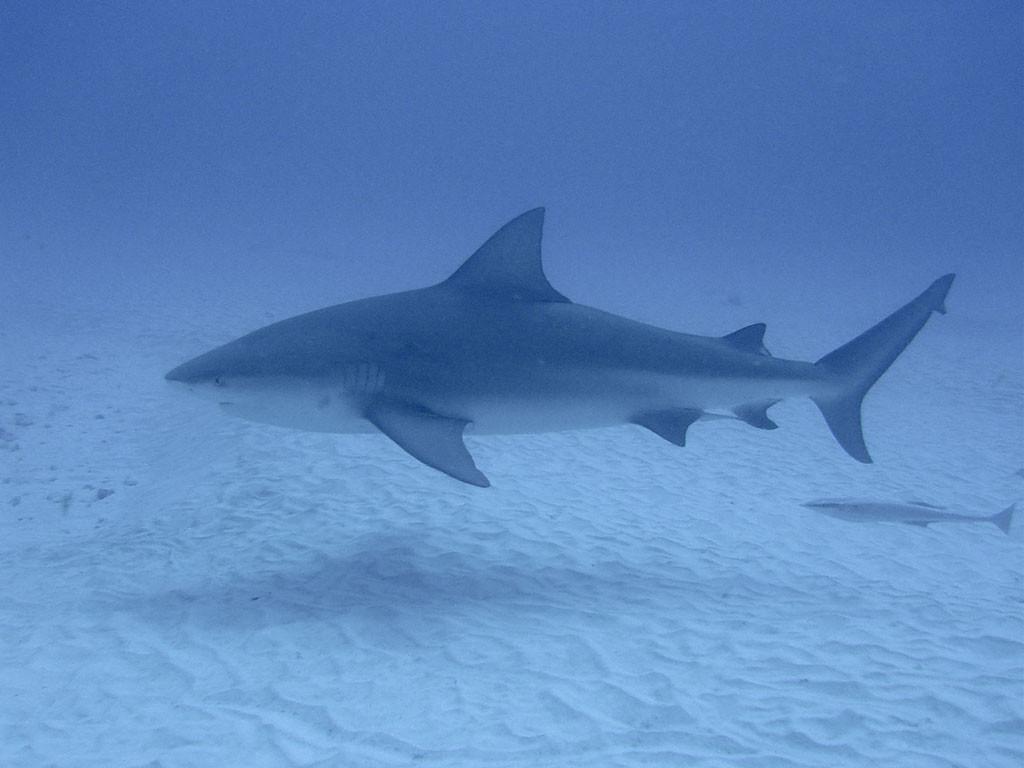 tiburon_toro_playa_del_carmen